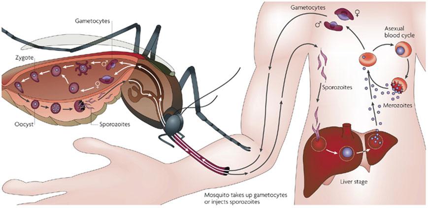 mosquito-protozoan