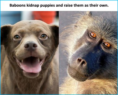 Baboons-kidnap-dogs-and-raise-them-as-their-own.