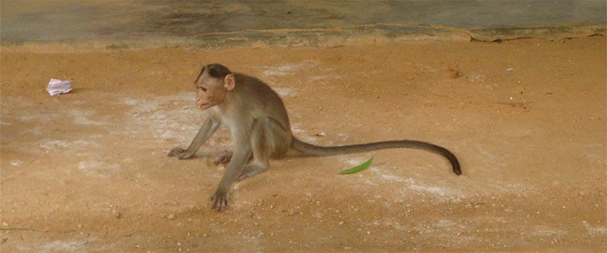 monkey-at-ashram