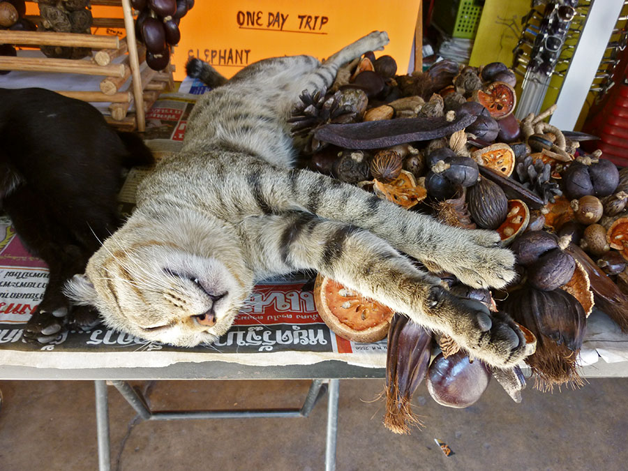 One-Day-Trip-Cat-Nap-Photo-Chiang-Mai