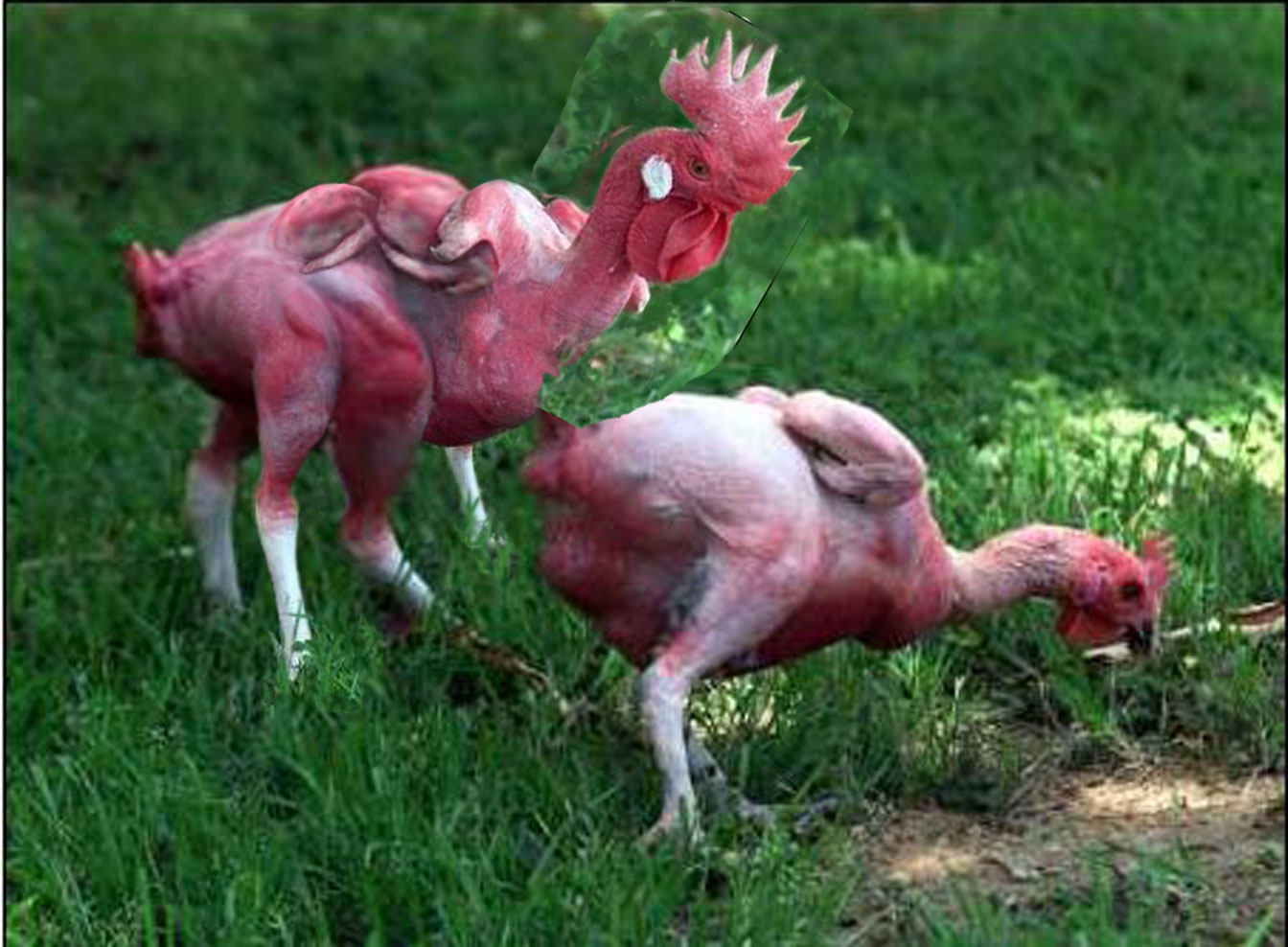 Image Gallery Mutant Chicken