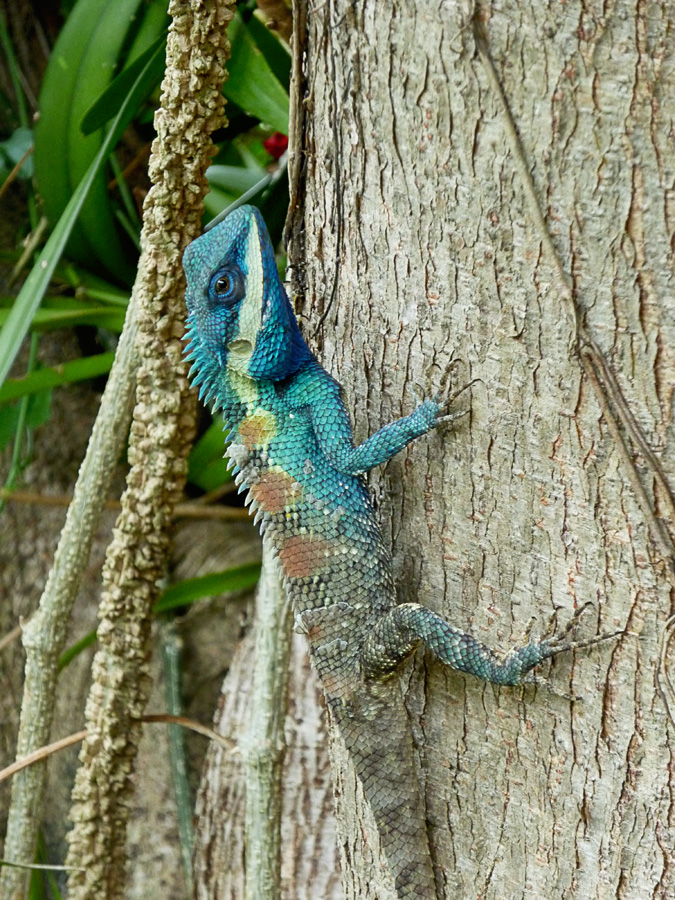 blue-head-lizard