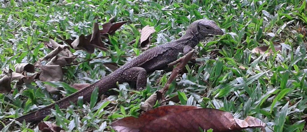 monitor-lizard