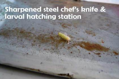 knife and larva