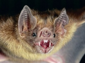 common-vampire-bat_505_600x4501